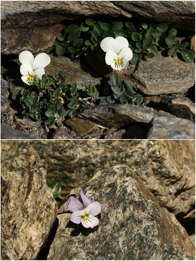 Découverte de la Sierra Nevada Violan10