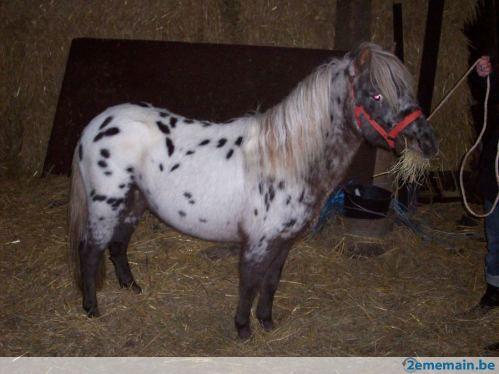 a vendre poney appaloosa vendu 65800611