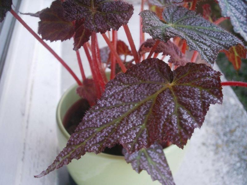 Quel est son nom ? [Begonia 'Thrush'] 50621115