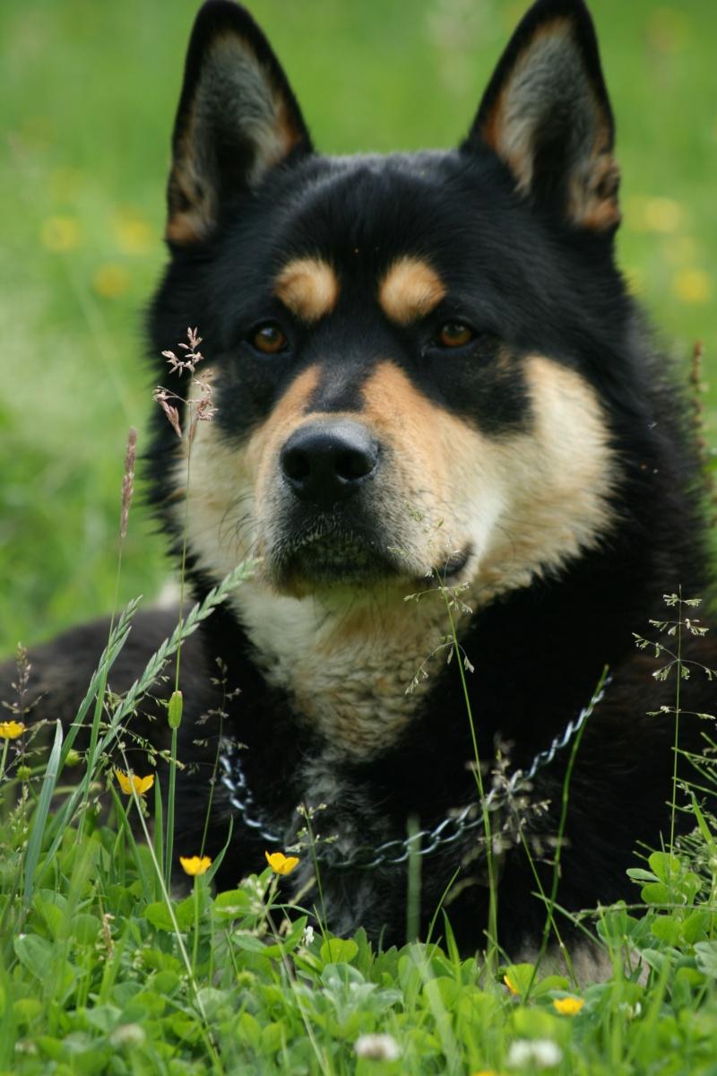Wolf Husky x Beauceron (m) né 01/05/2007,doux calme gentil REFU76 Img_7510