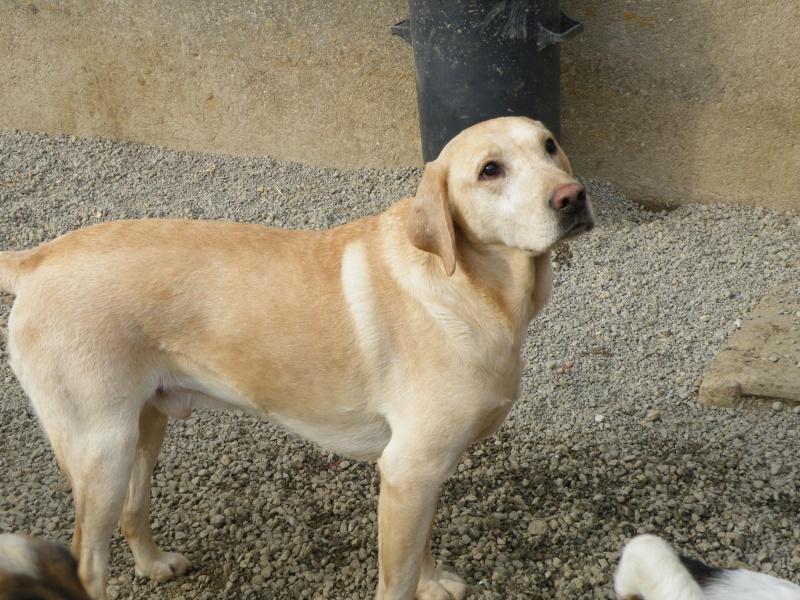 ERCULE  - labrador 8 ans (depuis l'age de 4 mois au refuge)  ALDPA (54) Dscf8745
