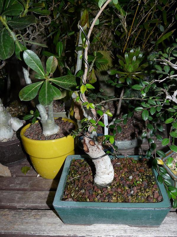orme de jardinerie P1040910