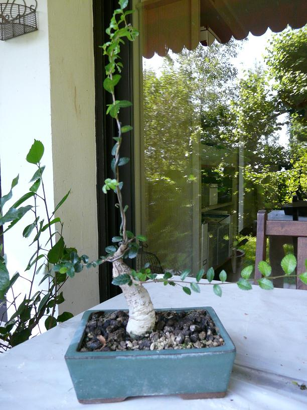 orme de jardinerie P1050610