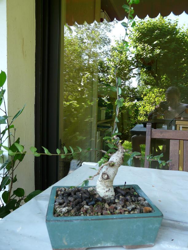 orme de jardinerie P1050611