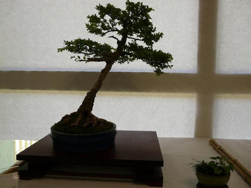 expos bonsai club marseille P1070100