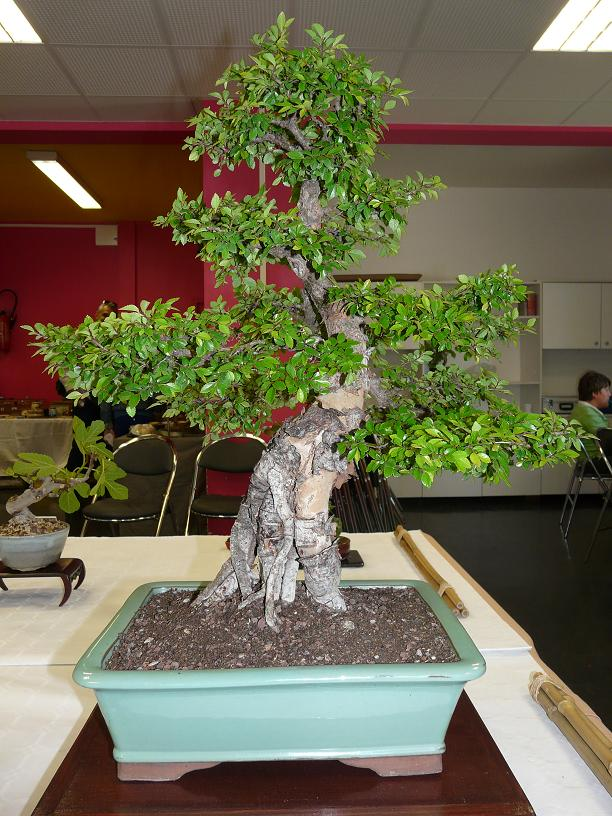 expos bonsai club marseille P1070104