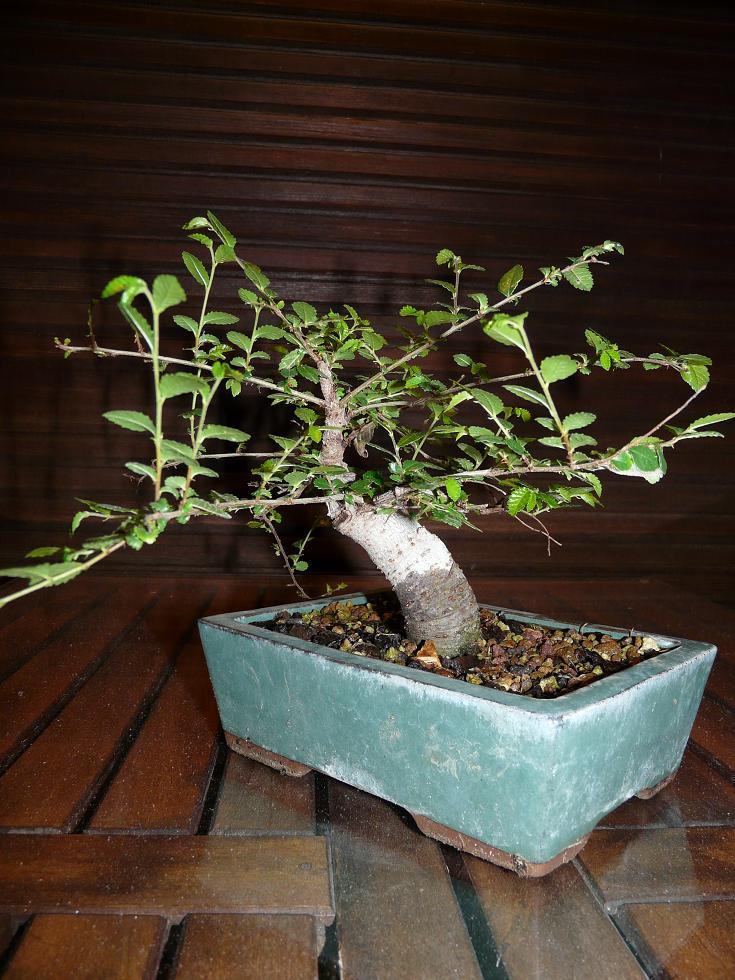 orme de jardinerie P1070312