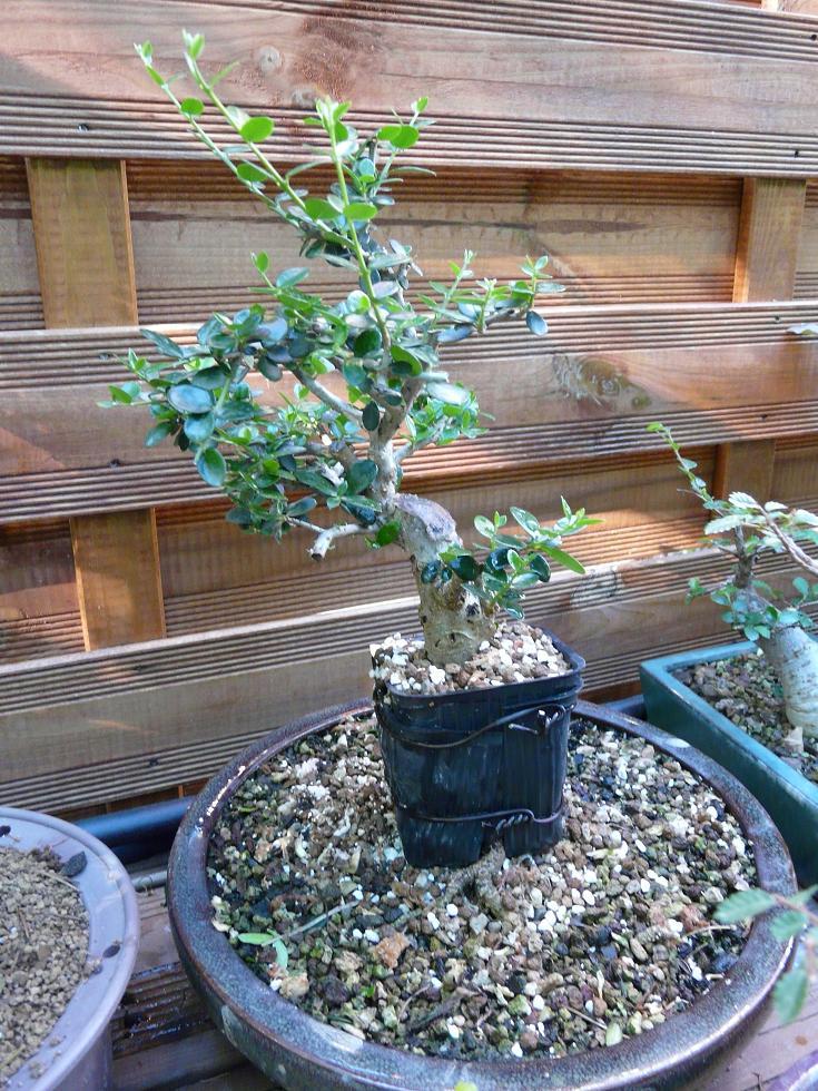 olivier de pepiniere P1070324