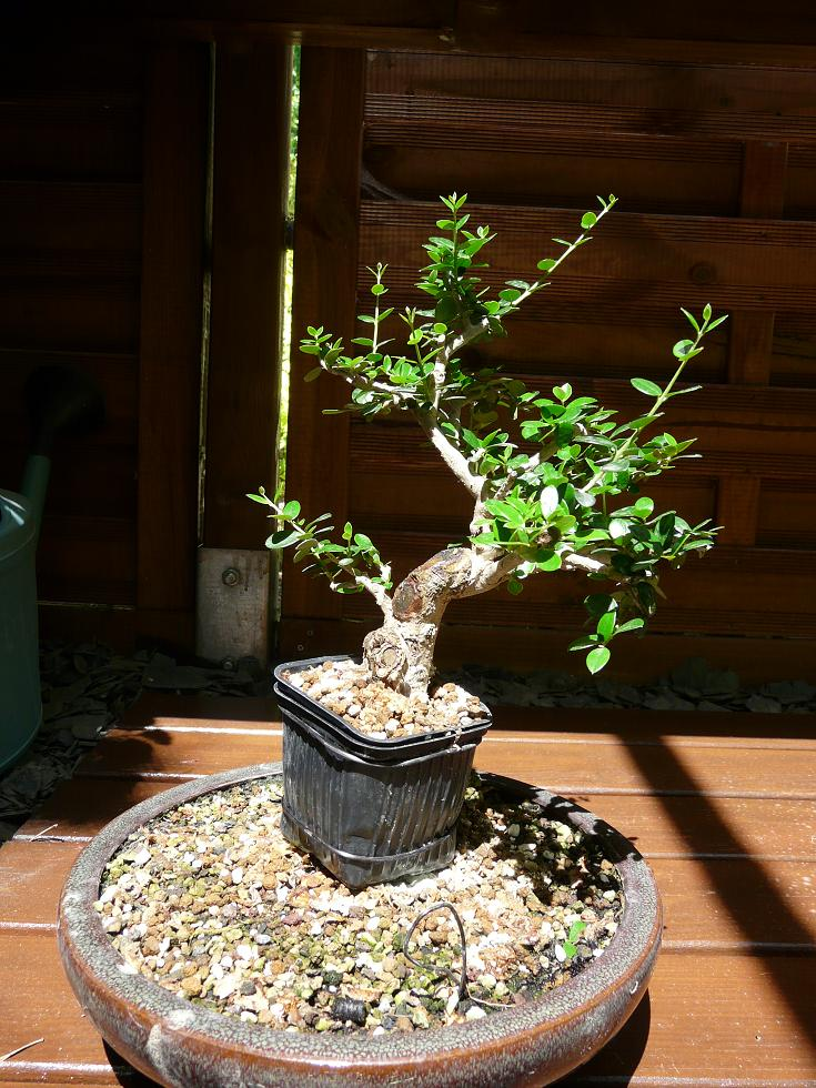 olivier de pepiniere P1070329