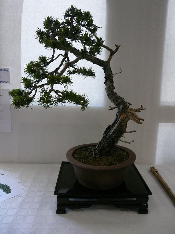 expos bonsai club marseille P1070379