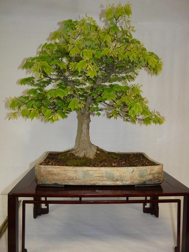 expos bonsai club marseille P1070385