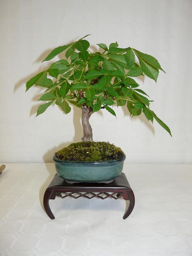 expos bonsai club marseille P1070386