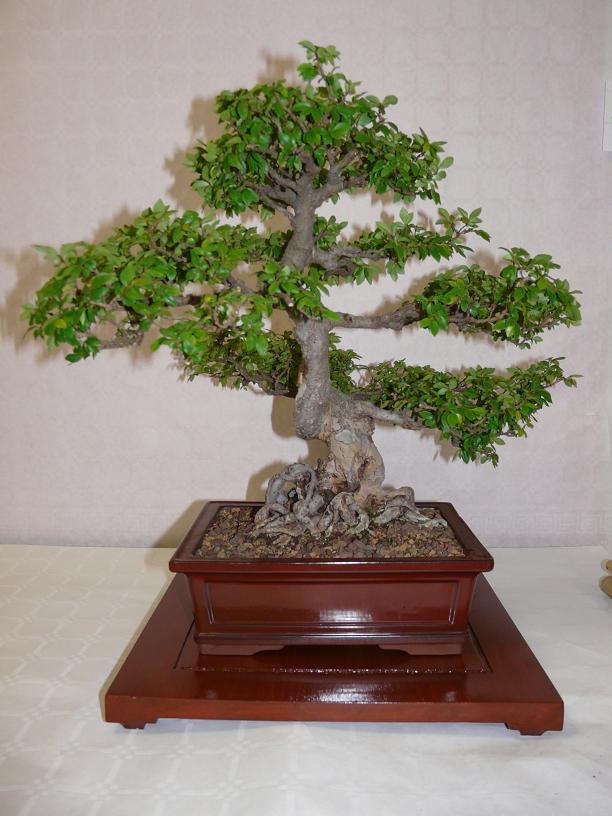 expos bonsai club marseille P1070389