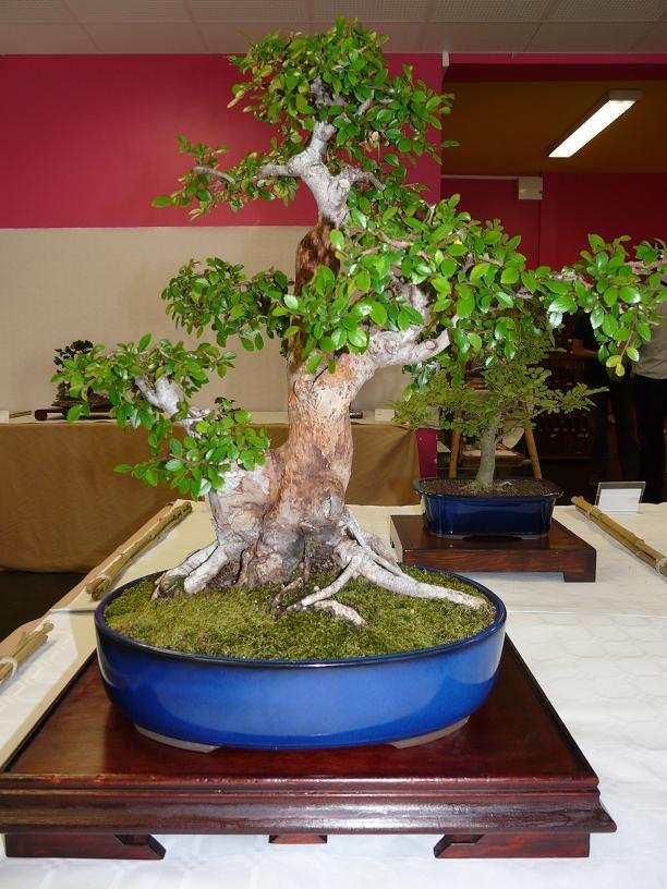 expos bonsai club marseille P1070413