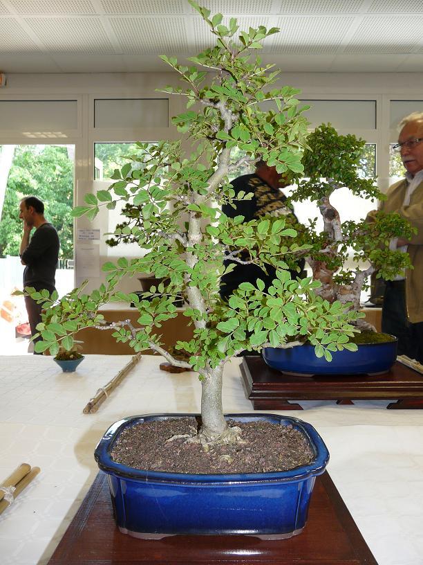 expos bonsai club marseille P1070414