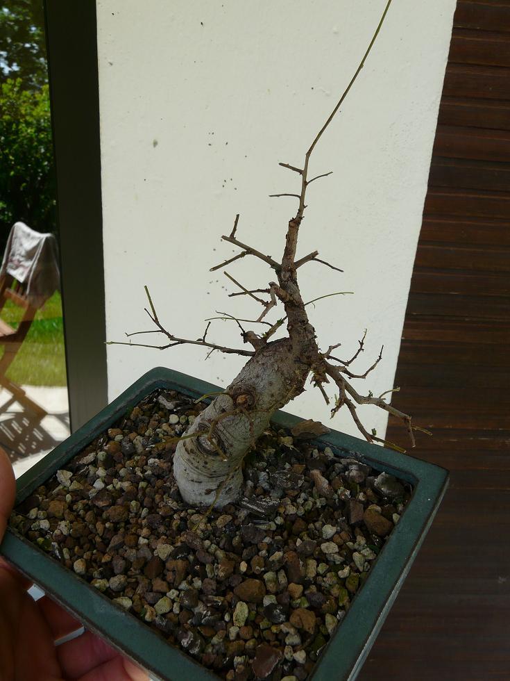 orme de jardinerie P1070435
