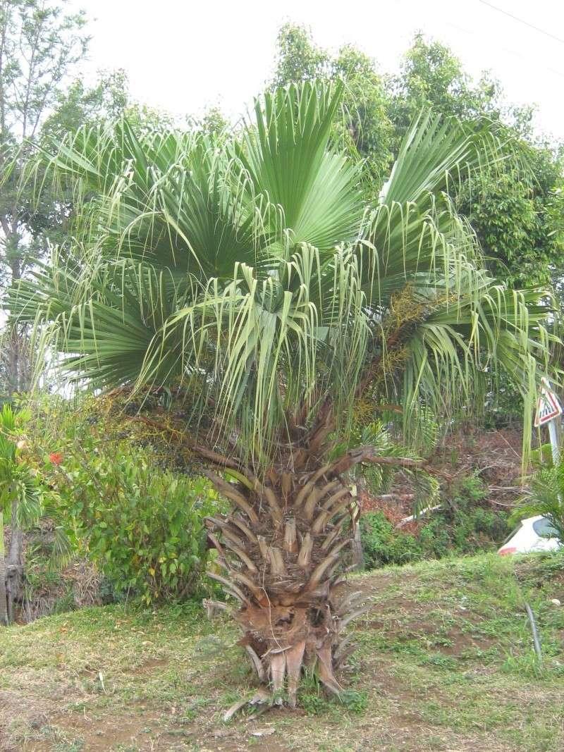 Livistonia chinensis Img_3310