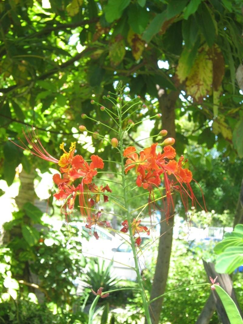 Caesalpinia Pulcherrima - Flamboyant nain Img_3318