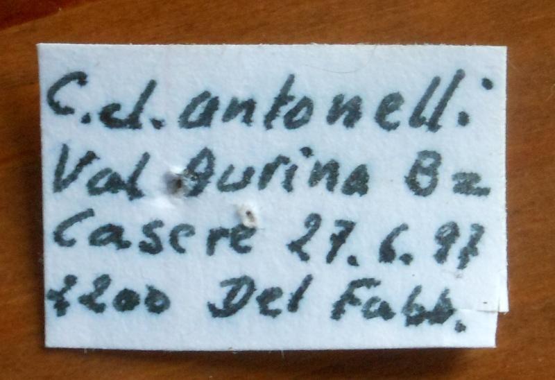 C. ( Limnocarabus ) clatratus ssp. antonelli, Luigioni 1921 Dscn3510