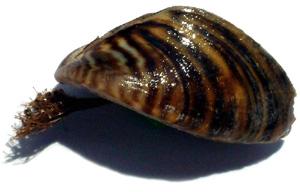 El pegamento utilizado por los mejillones marinos puede emplearse para cerrar las heridas quirúrgicas Vvv18