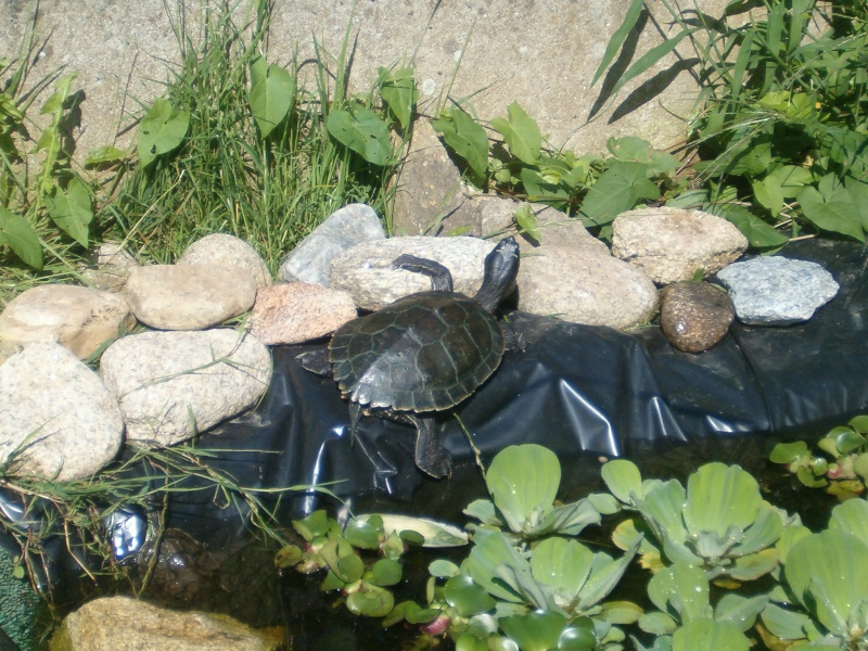 Bassins et tortues Grap310