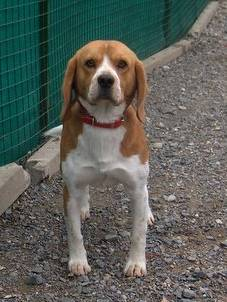CHARLY, beagle mâle, 1 an 1/2 (42) Charly11