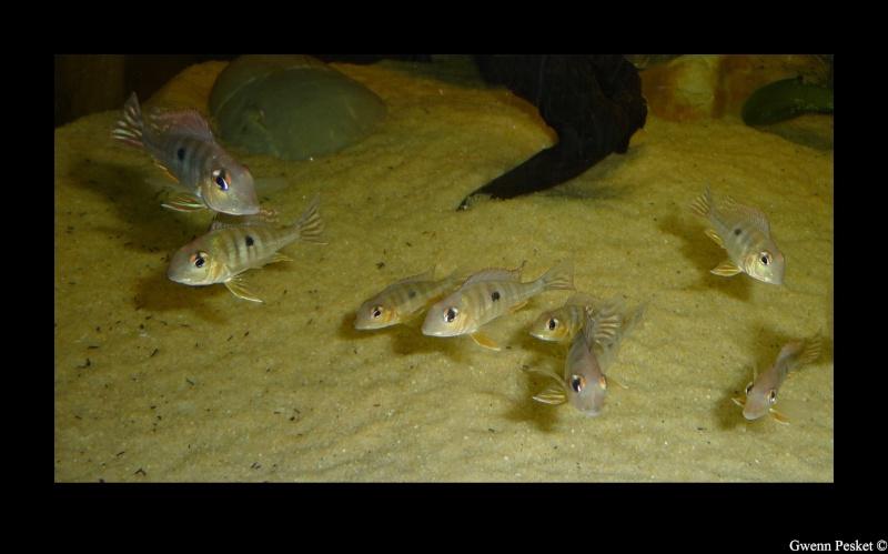 Geophagus red-head Geopha10