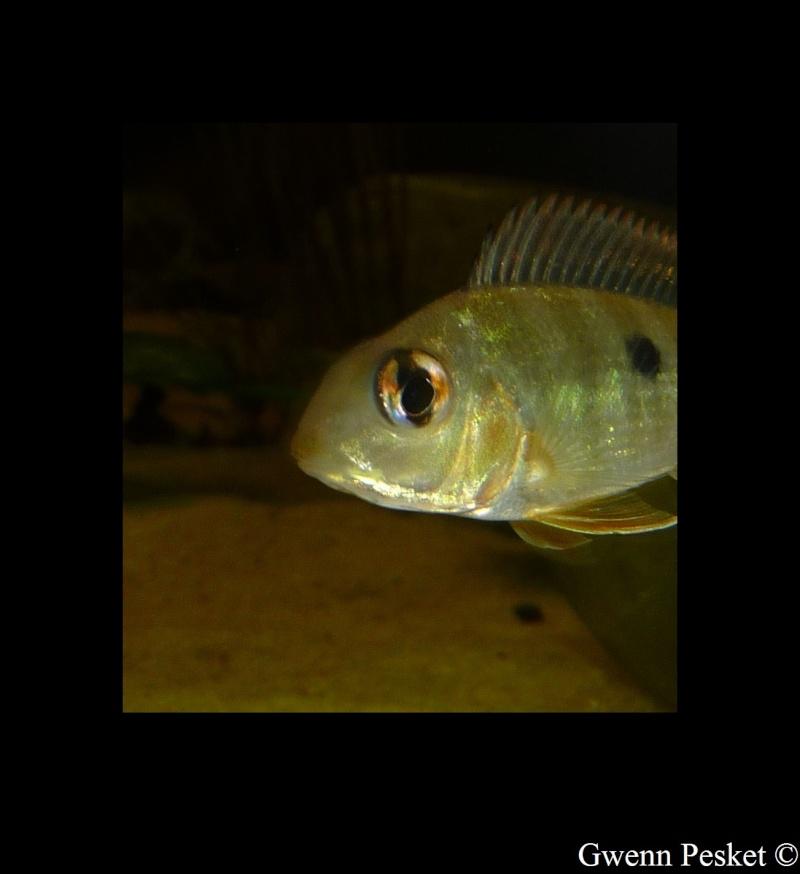 Geophagus red-head Geopha15