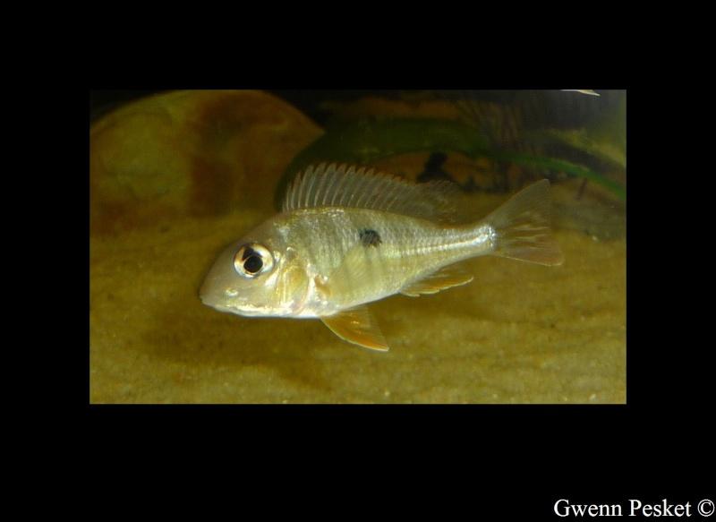 Geophagus red-head Geopha16
