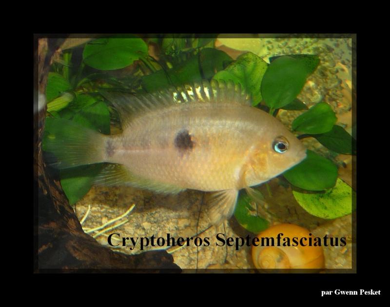 Cryptoheros Septemfasciatus P1040111