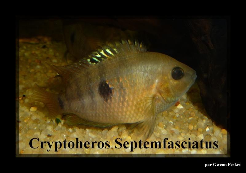Cryptoheros Septemfasciatus P1040112