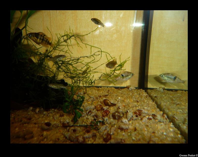 Thorichthys socolofi f1, Rio Bascàn, Mexique P1060510