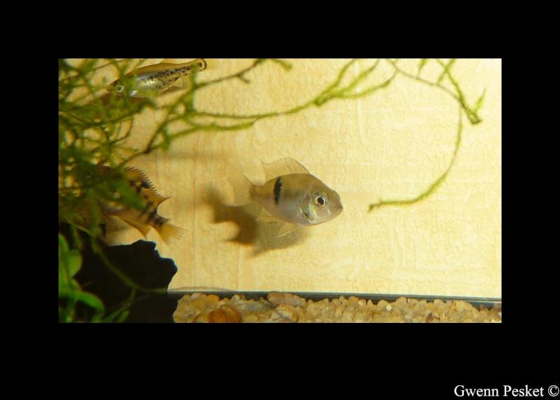 Thorichthys socolofi f1, Rio Bascàn, Mexique Socolo10