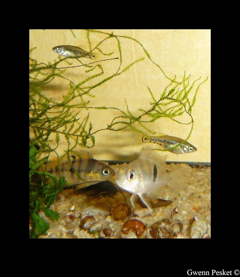 Thorichthys socolofi f1, Rio Bascàn, Mexique Socolo11