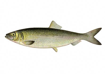 موضوع مهم عن الأسماك Herrin10