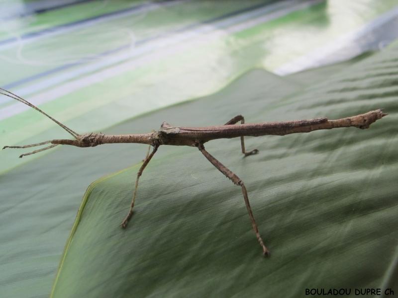 Hesperophasma sp (République Dominicaine) Male_a12