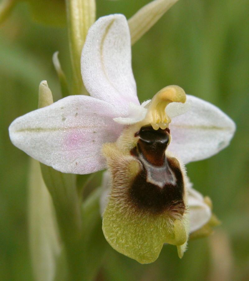 Ophrys tenthredinifera, villosa Kalamata Gr Copie_29