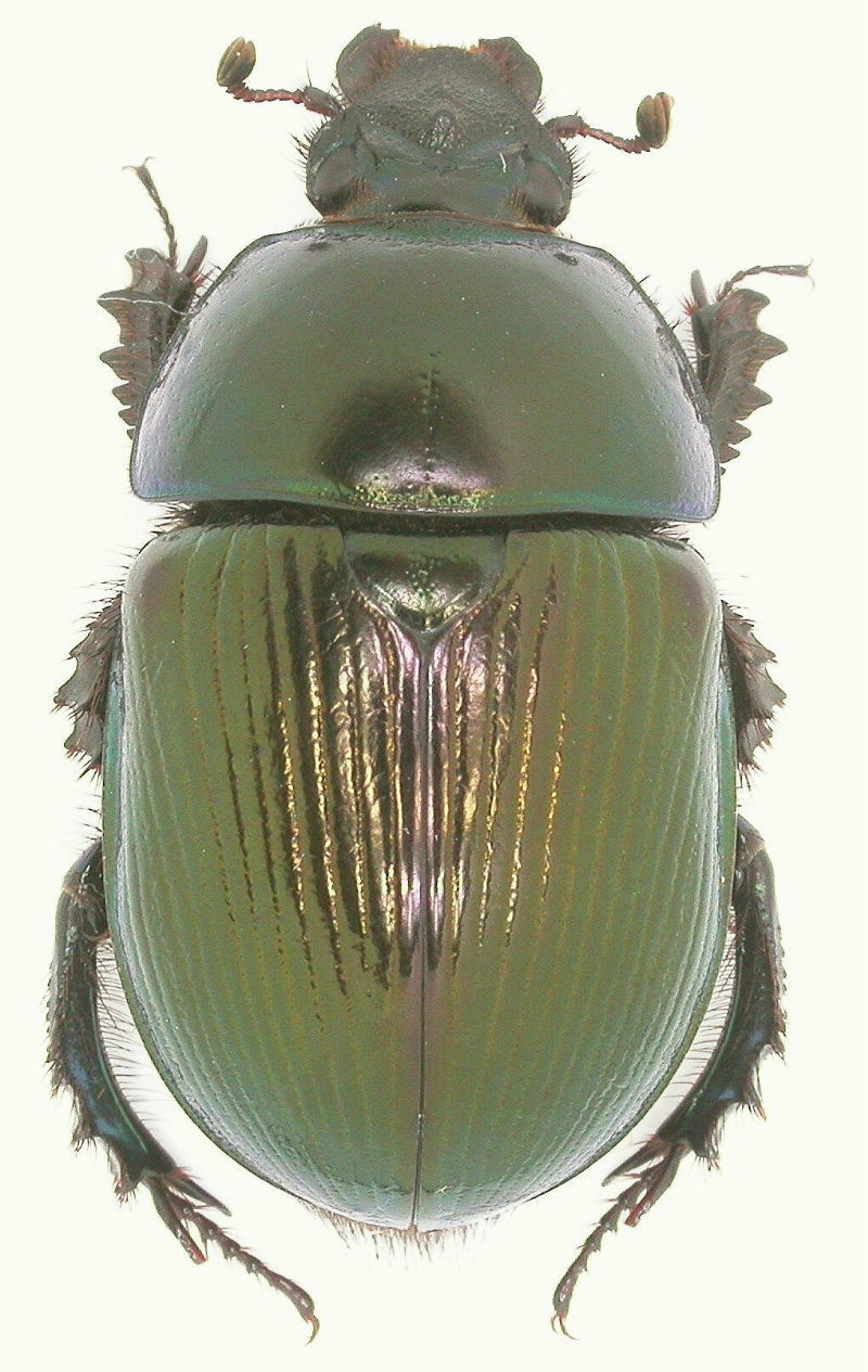 [Geotrupes olgae]Geotrupes spiniger  ? : Arménie Copie_68