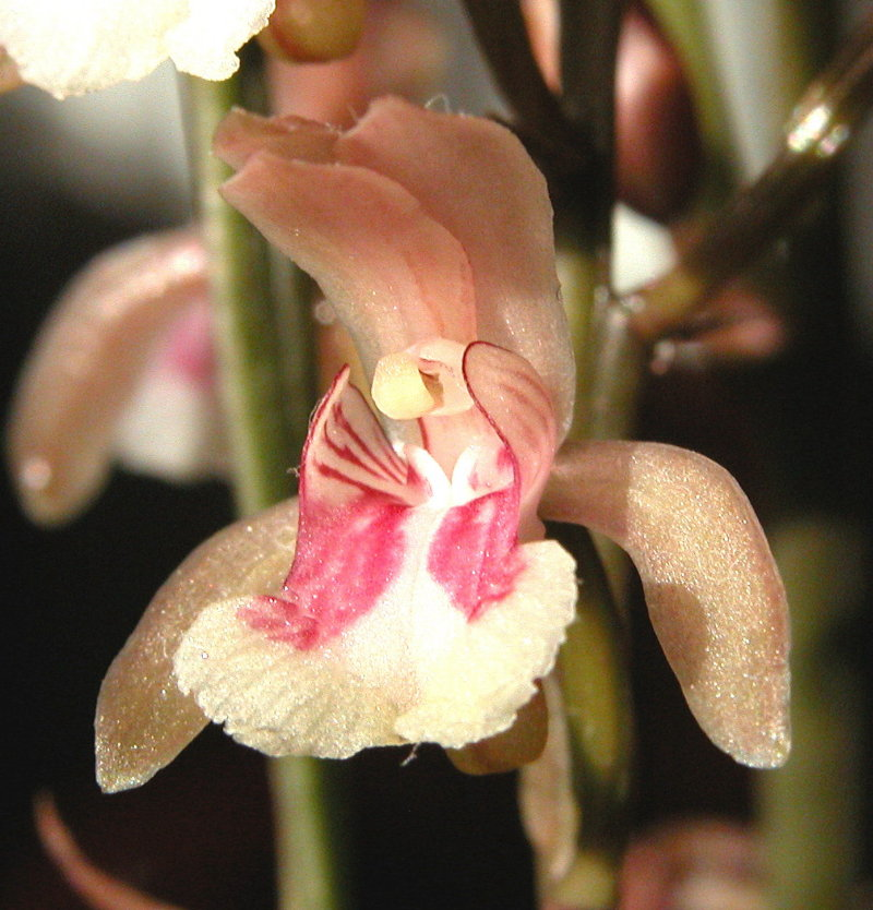 Orchidée Saint-Domingue [Oeceoclades maculata] Copie_86
