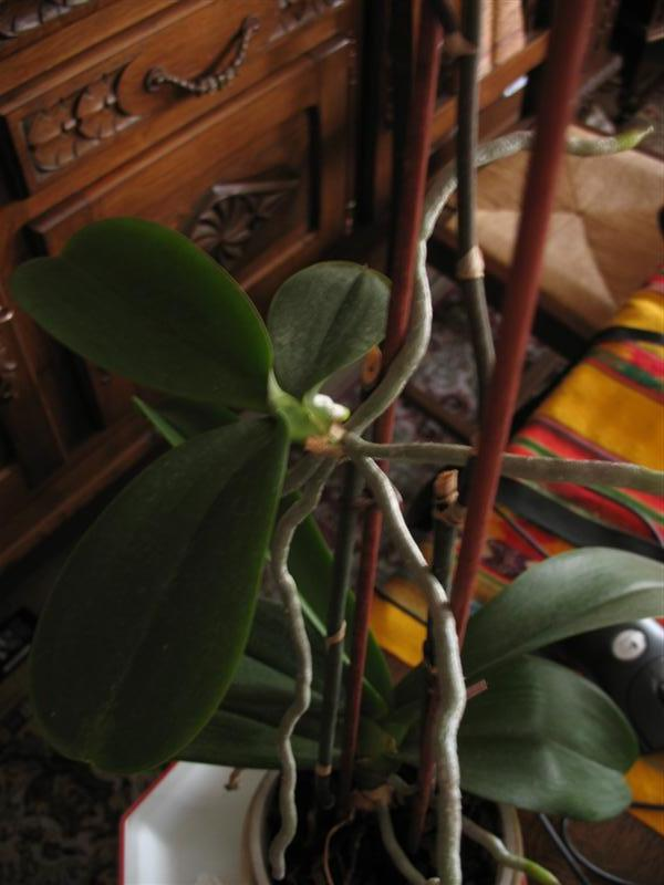 help, Mimi et Croquette? Orchid11