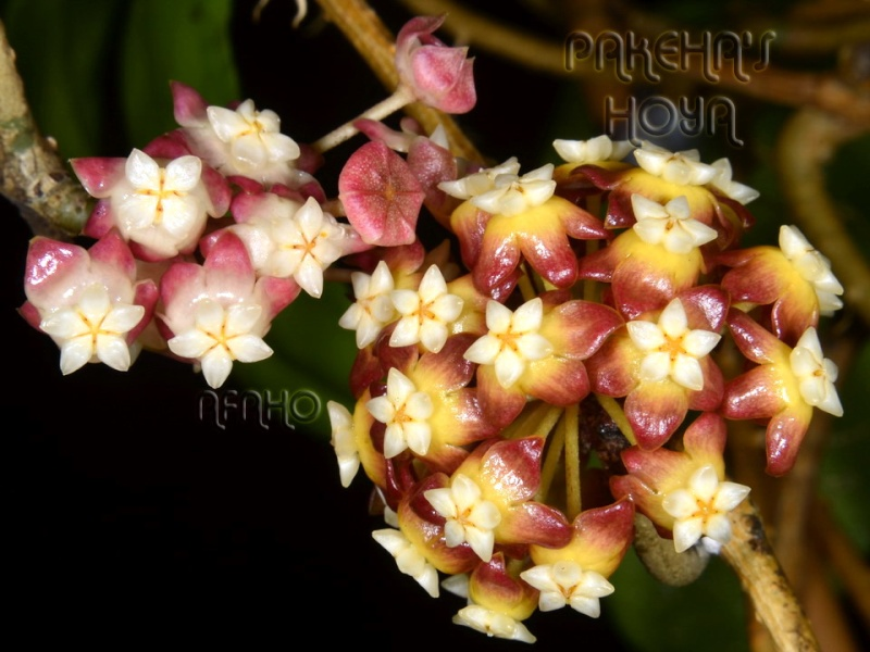 Hoya callistophylla Red Dsc_8411
