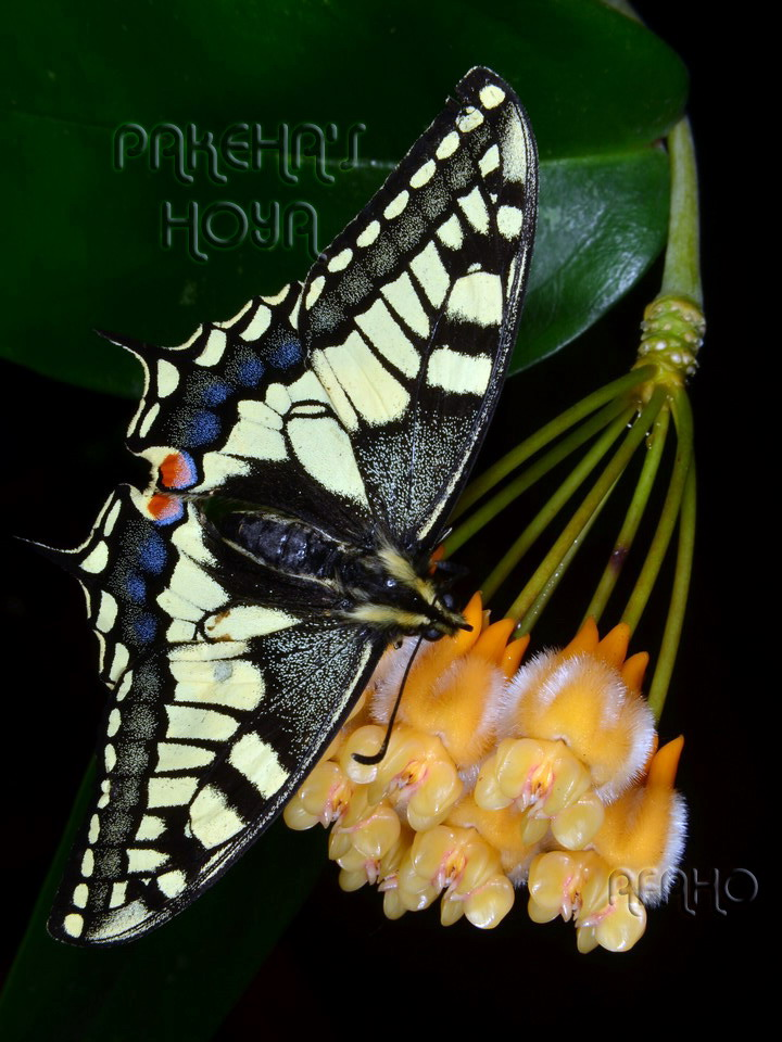Fluture pe Hoya lasiantha Dsc_8515