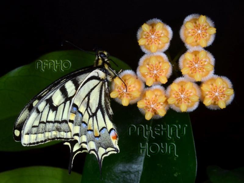 Fluture pe Hoya lasiantha Dsc_8516