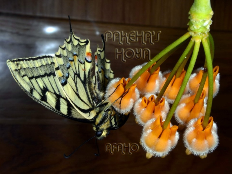 Fluture pe Hoya lasiantha Dsc_8517