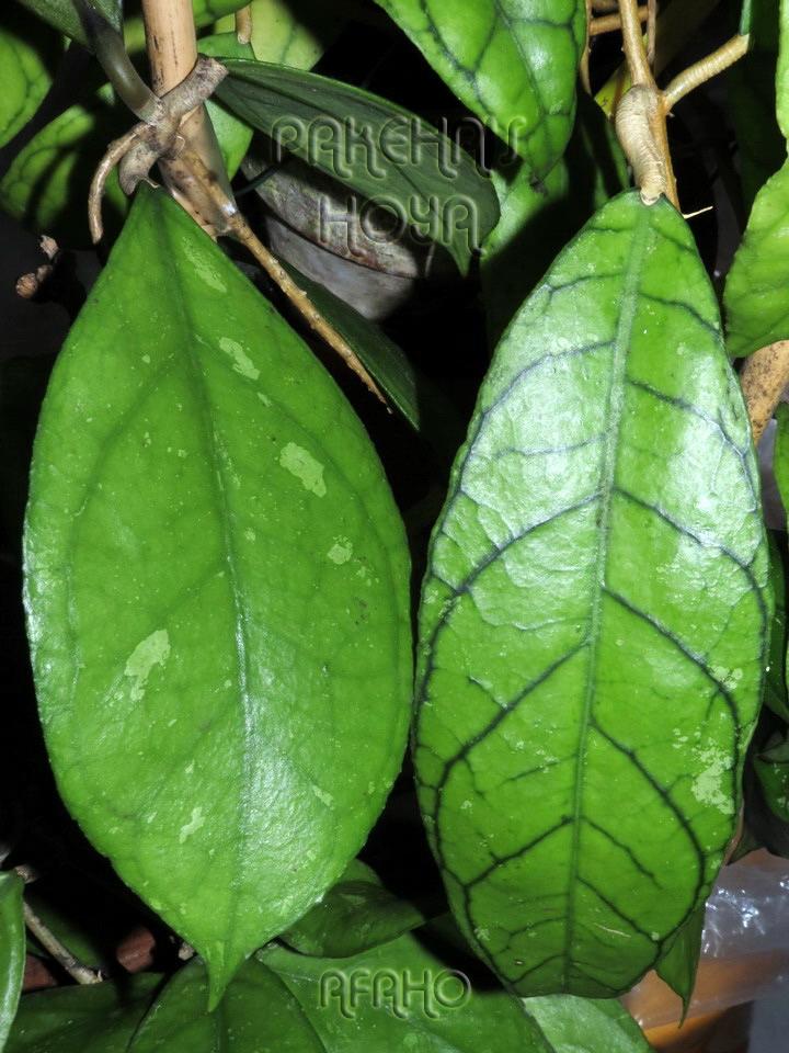 Hoya callistophylla Red Img_7011