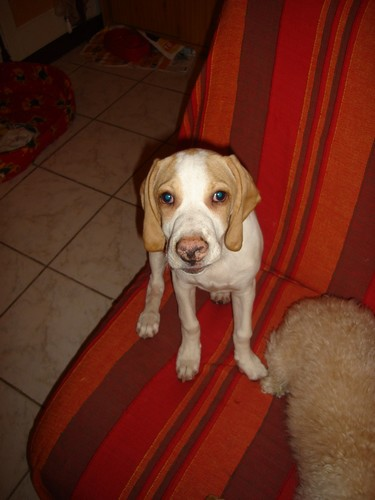 ROMEO, croisé beagle/épagneul mâle, 9 mois (94) Dsc01211