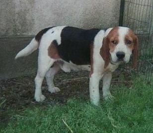 TOSCAN, beagle mâle, 7 ans (72) Fh000010