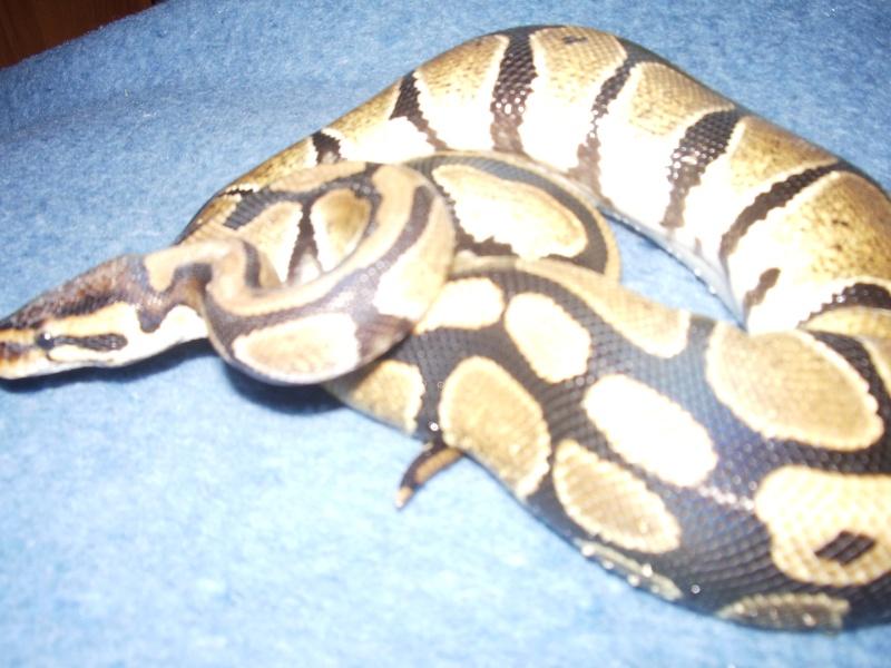 Pythons Regius & Morelia Spilota Cheynei 03510