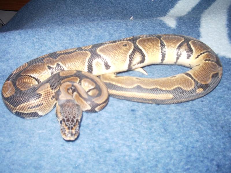 Pythons Regius & Morelia Spilota Cheynei 03710