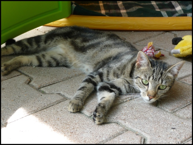 DOUCHKA (tigrée) P1040012